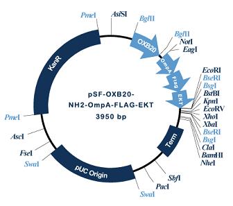 OmpA-EKT secretory1